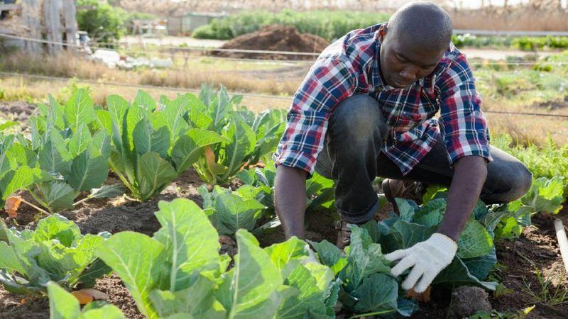 Farm worker harvesting cabbage
