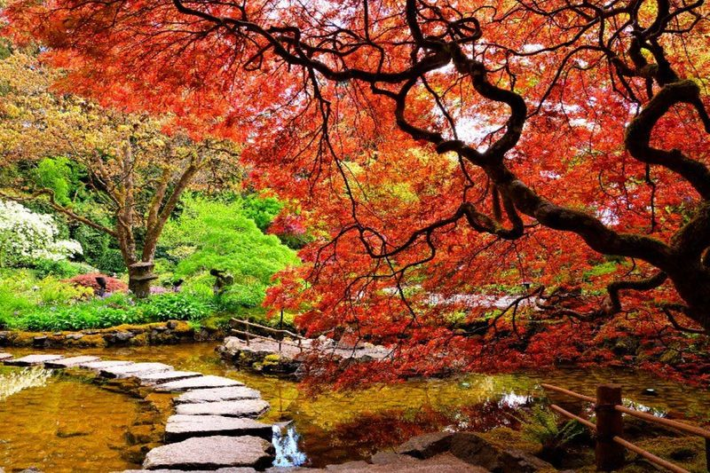 Pond With Overhanging Red Japanese Butchart Gardens Canada