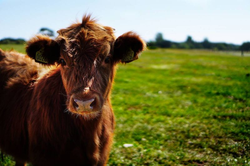 cow on farm in rural Canada | immigrate to Canada