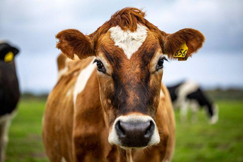 cow on farm | jobs in Canada
